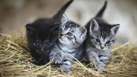 Quels sont les premiers soins à prodiguer à un chaton ?